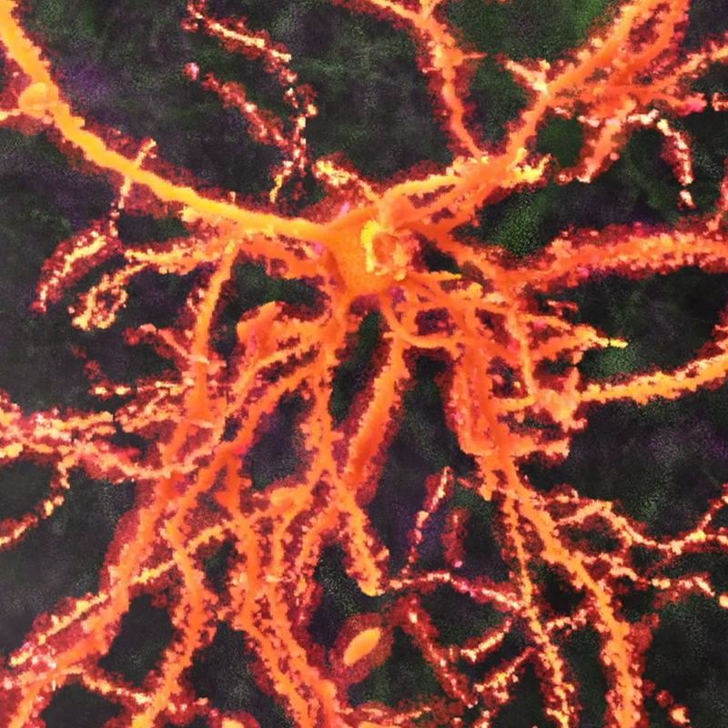 Neurons & Synapses