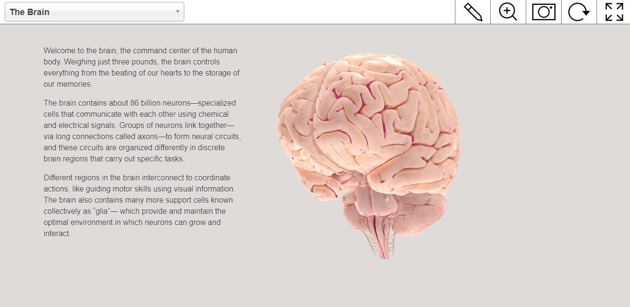 Interactive Brain Model